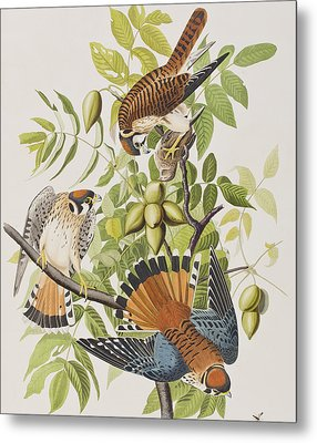 American Sparrow Hawk Metal Print by John James Audubon