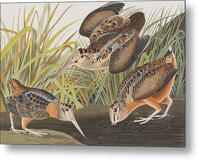 American Woodcock Metal Print by John James Audubon