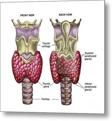 Anatomy Of Thyroid Gland With Larynx & Metal Print by Stocktrek Images