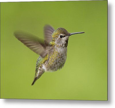 Anna's Hummingbird Metal Print by Doug Herr