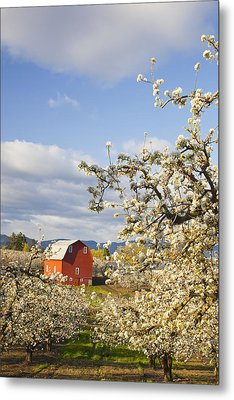 Apple Blossom Trees And A Red Barn In Metal Print by Craig Tuttle