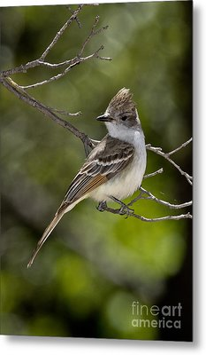 Ash-throated Flycatcher Metal Print by Anthony Mercieca