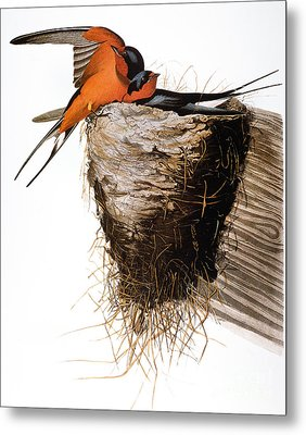 Audubon: Swallow Metal Print by Granger