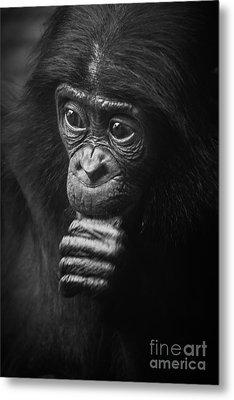 Baby Bonobo Portrait Metal Print by Helga Koehrer-Wagner