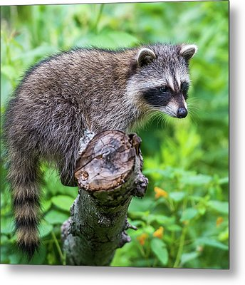 Metal Print featuring the photograph Baby Racoon by Paul Freidlund