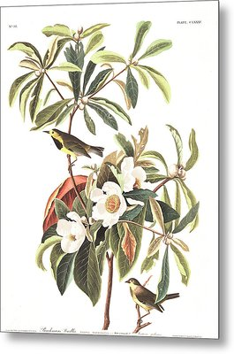 Bachman's Warbler  Metal Print by John James Audubon
