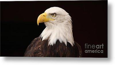 Bald Eagle Metal Print by David Warrington