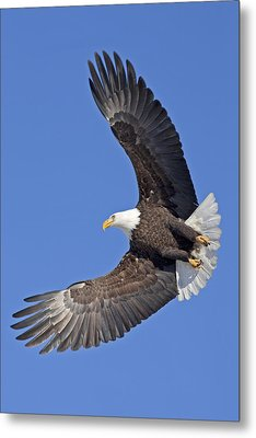 Bald Eagle In Flight Metal Print by Tim Grams