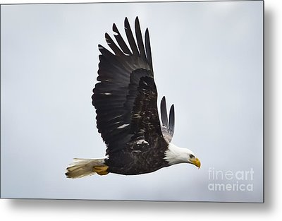 Bald Eagle Metal Print by Ricky L Jones