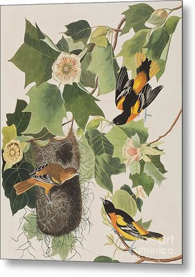 Baltimore Oriole Metal Print by John James Audubon