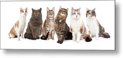 Beautiful Grey Domestic Shorthair Cat Laying Metal Print by Susan Schmitz