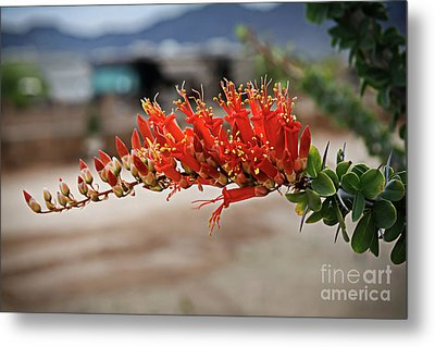 Metal Print featuring the photograph Beautiful Ocotillo by Robert Bales