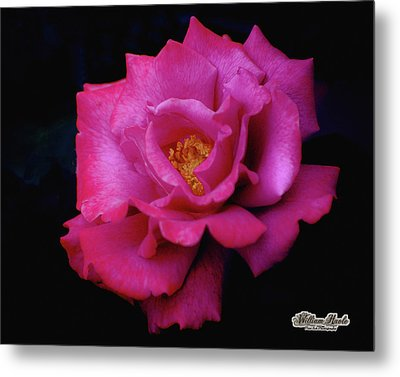 Beauty In A Rose Metal Print by William Havle