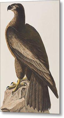Bird Of Washington Metal Print by John James Audubon