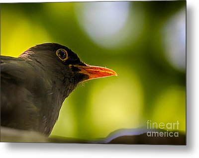 Blackbird Metal Print by Jivko Nakev