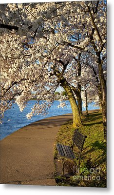Blossoming Cherry Trees Metal Print by Brian Jannsen