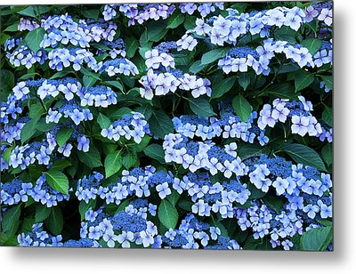 Metal Print featuring the photograph Miksang 12 Blue Hydrangea by Theresa Tahara