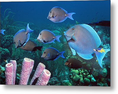 Blue Tang Shoal Metal Print by Georgette Douwma