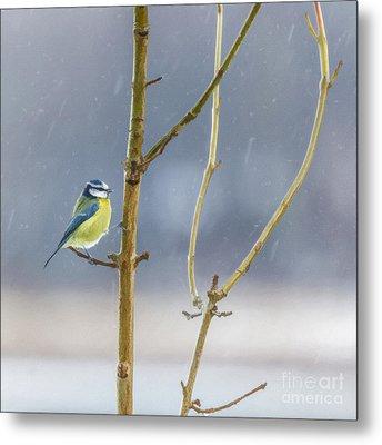 Blue Tit In Snow Shower Metal Print by Liz Leyden