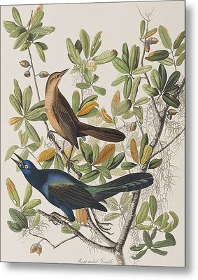 Boat-tailed Grackle Metal Print by John James Audubon