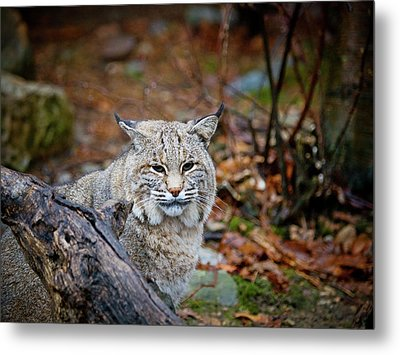 Bobcat Metal Print by Jim DeLillo