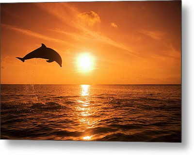 Bottlenose Dolphin (tursiops Truncatus) Jumping Out Of Water, Sunset Metal Print by Rene Frederick