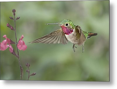Broadtail Hummingbird And Salvia Metal Print