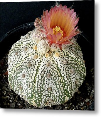 Cactus Flower 4 Metal Print by Selena Boron