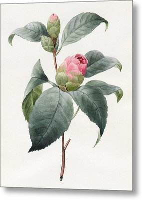 Camellia Metal Print by Louise D'Orleans