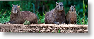 Capybara Hydrochoerus Hydrochaeris Metal Print by Panoramic Images