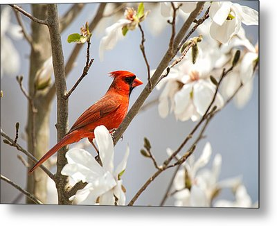 Metal Print featuring the photograph Cardinal In Magnolia by Angel Cher