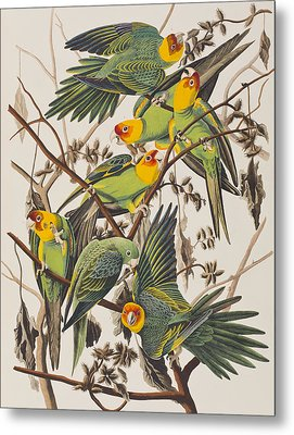 Carolina Parrot Metal Print by John James Audubon