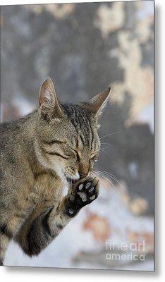 Cat Grooming In Greece Metal Print by Jean-Louis Klein & Marie-Luce Hubert