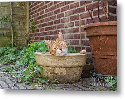 Cat In Empty Pot Metal Print