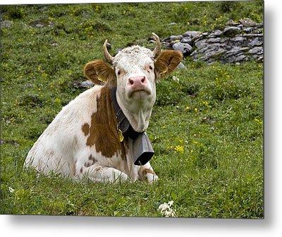 Cattle, Switzerland Metal Print by Bob Gibbons