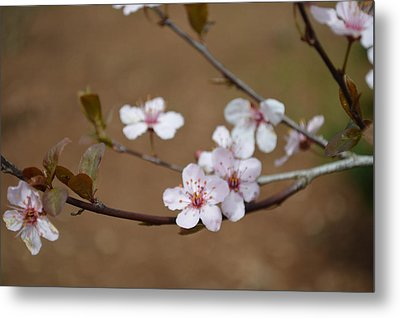 Metal Print featuring the photograph Cherry Blossoms by Linda Geiger