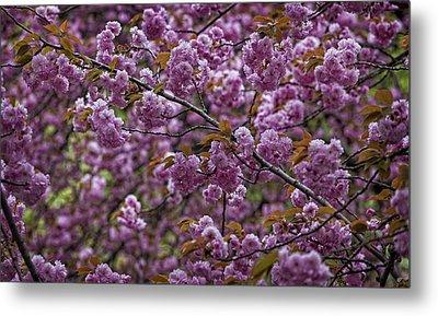 Cherry Blossoms Metal Print by Robert Ullmann