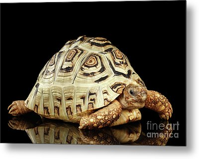 Closeup Leopard Tortoise Albino,stigmochelys Pardalis Turtle With White Shell On Isolated Black Back Metal Print
