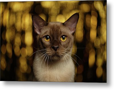 Closeup Portrait Burmese Cat On Happy New Year Background Metal Print by Sergey Taran
