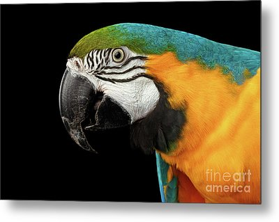 Closeup Portrait Of A Blue And Yellow Macaw Parrot Face Isolated On Black Background Metal Print by Sergey Taran