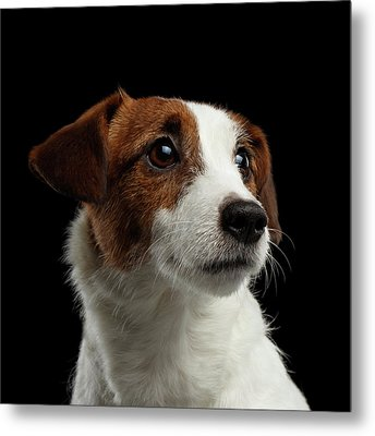 Closeup Portrait Of Jack Russell Terrier Dog On Black Metal Print