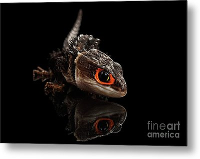 Closeup Red-eyed Crocodile Skink, Tribolonotus Gracilis, Isolated On Black Background Metal Print by Sergey Taran