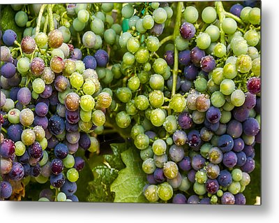 Colorful Wine Grapes On Grapevine Metal Print