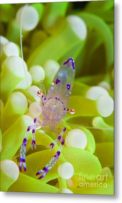 Commensal Shrimp On Green Anemone Metal Print