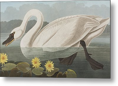 Common American Swan Metal Print by John James Audubon