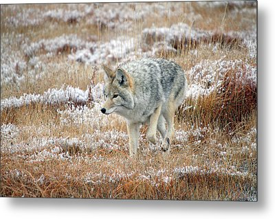 Coyote  In Yellowstone National Park Metal Print by Pierre Leclerc Photography