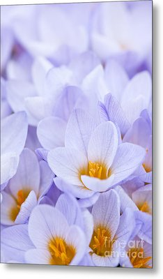 Crocus Flowers Metal Print by Elena Elisseeva
