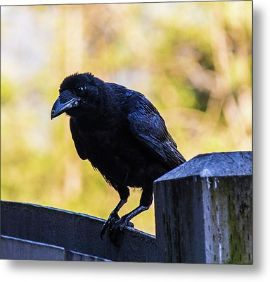 Metal Print featuring the photograph Crow Perched by Jonny D