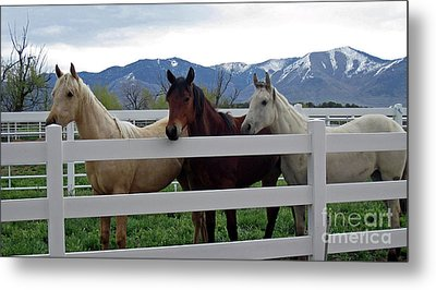 Metal Print featuring the photograph Curious Yearlings by Juls Adams
