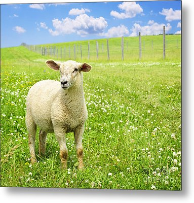 Cute Young Sheep Metal Print by Elena Elisseeva